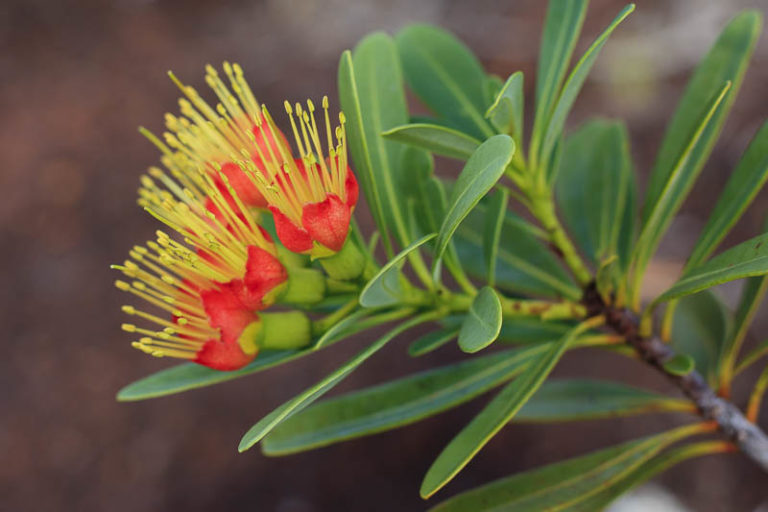 edemic flower from new caledonia